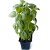Local Potted Basil